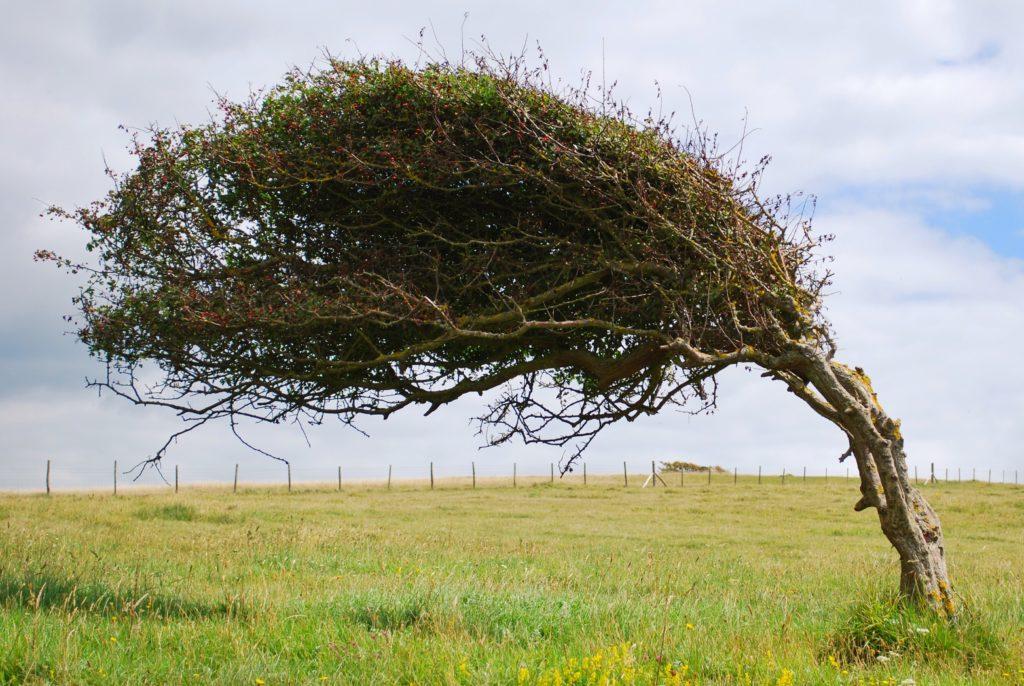Albero piegato dal vento sulle Seven Sisters in Inghilterra